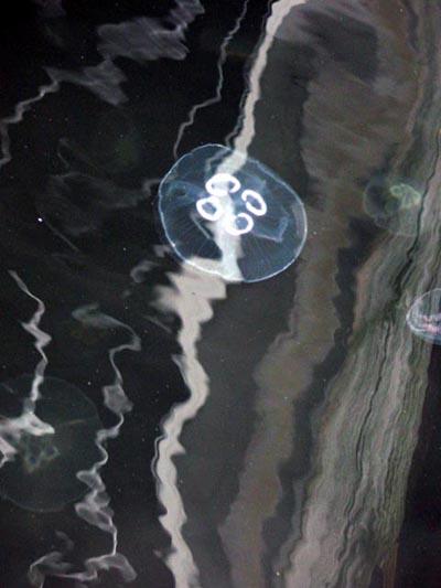Sopocka meduza