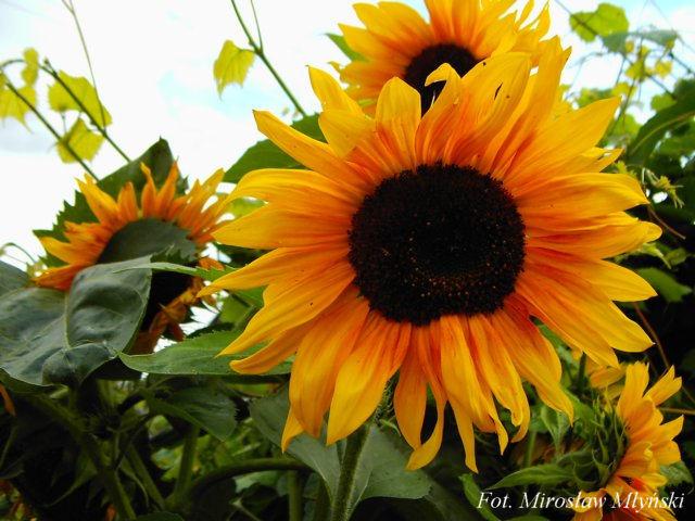 Łączyńskie słoneczniki