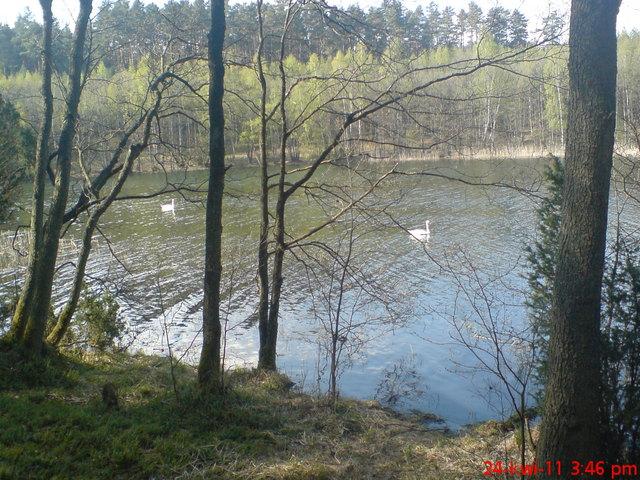 Łabędzie na jeziorze Głuchym D.