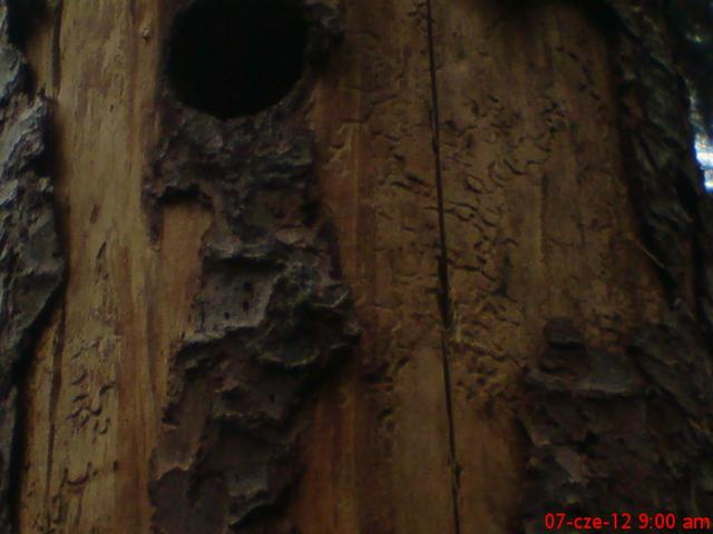 Dziupla w drzewie