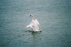 Tańczący łabędź