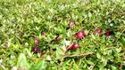 Bogactwo kaszubskiego lasu - żurawina