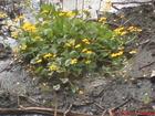 """Kwiatki na """"wysepce"""" na rzece Brdzie"""